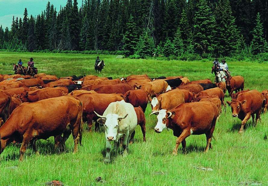 Image result for Cattle ranches in canada